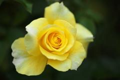 初秋の薔薇♪5