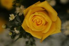 黄色い薔薇♪1