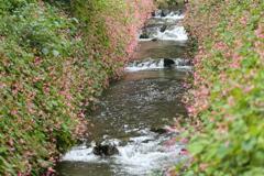 水辺の秋海棠♪4
