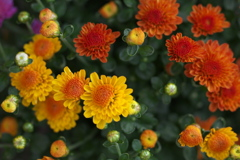 菊の季節♪4