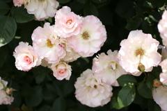 薔薇香る頃♪14