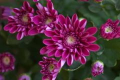 菊の季節♪1