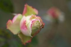 薔薇・咲き残る♪2