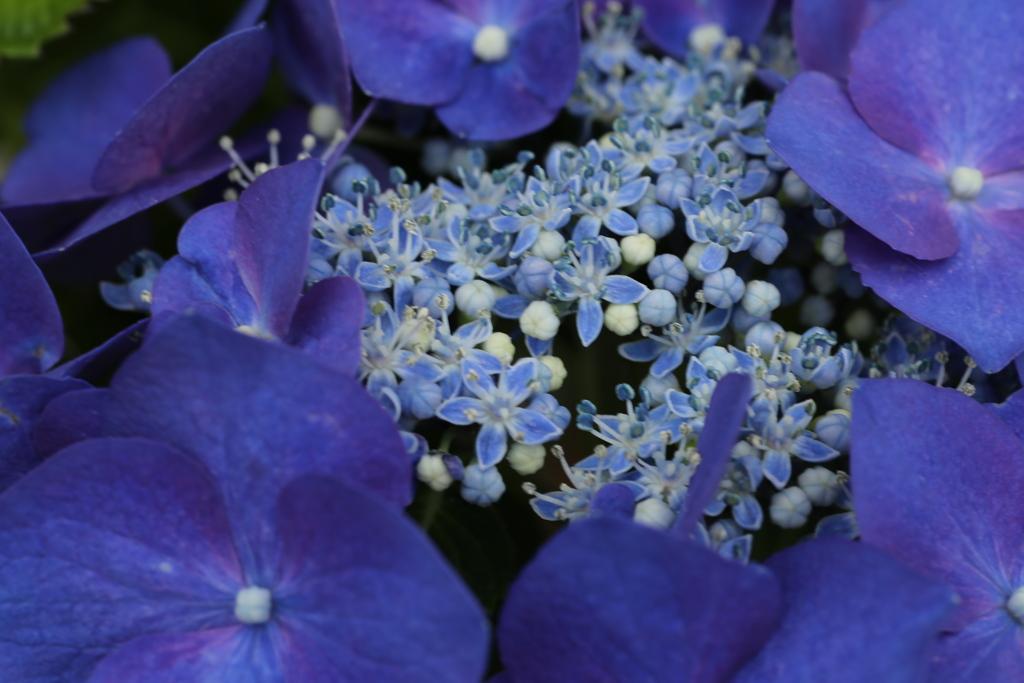 紫陽花色♪1