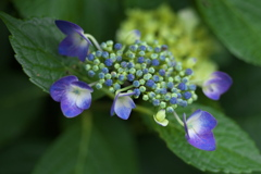 紫陽花♪2