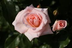 薔薇香る頃♪12