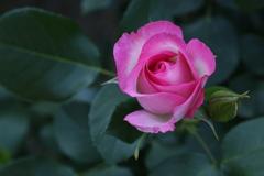 井頭公園の薔薇♪20