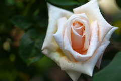 薔薇香る頃♪15