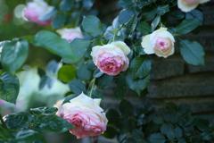井頭公園の薔薇♪18
