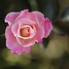 秋の薔薇♪2