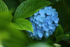 太平山の紫陽花♪10