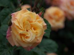 雨の日の薔薇♪3
