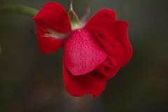 薔薇・咲き残る♪1
