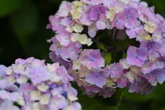 権現堂堤の紫陽花♪5
