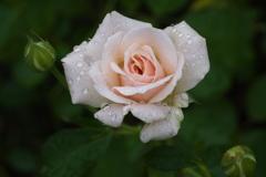 秋の薔薇♪17