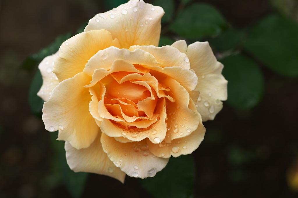 秋の薔薇♪9