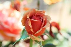 井頭公園の薔薇♪5