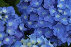権現堂堤の紫陽花♪4