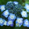 雨の日の紫陽花♪5