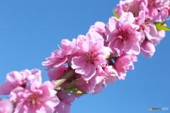 桃の里♪2