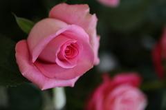 1月の薔薇♪3