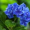 礒山神社の紫陽花♪5