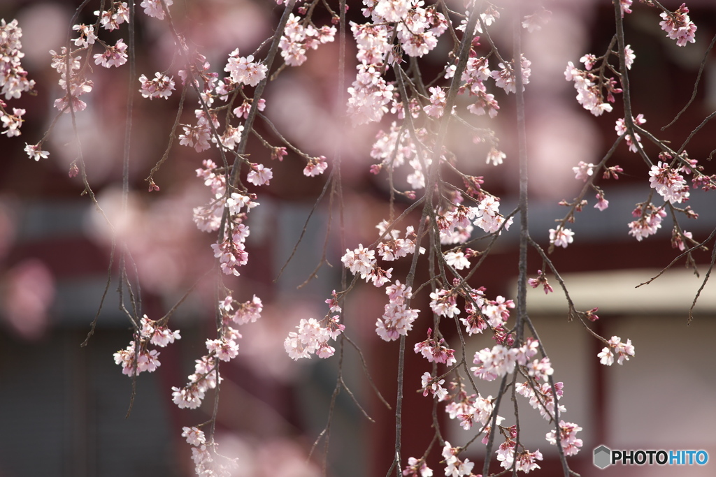 しだれ桜・西光院♪5