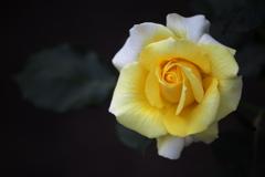 5月の薔薇♪25