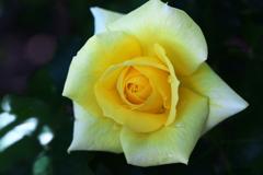 薔薇香る頃♪11
