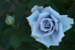 井頭公園の薔薇♪4