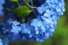 雨の日の紫陽花♪1