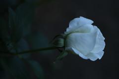 井頭公園の薔薇♪19