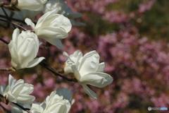 白い春♪4