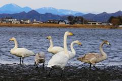 多々良沼の白鳥さん♪4