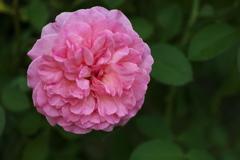秋の薔薇♪18