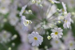 プリムラの春♪1