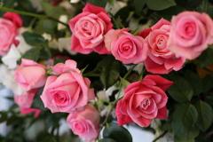 1月の薔薇♪1
