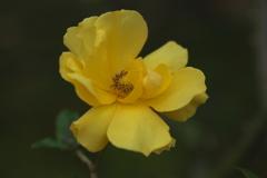 薔薇・咲き残る♪3