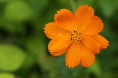 庭の花♪黄花コスモス