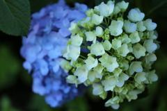 太平山の紫陽花♪4