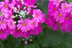 プリムラの春♪3
