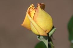 5月の薔薇♪23
