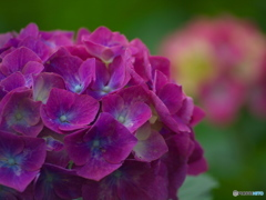 権現堂堤の紫陽花♪8