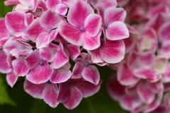 権現堂堤の紫陽花♪3