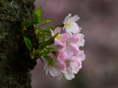 思川桜♪1