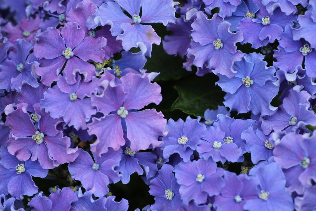紫陽花色♪3