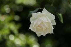 微笑みの薔薇♪3