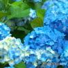 太平山の紫陽花♪5
