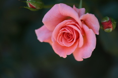 井頭公園の薔薇♪11