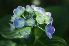 さよなら紫陽花♪2
